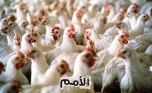 40.2% الارتفاع في أسعار باب المزرعة للدجاج اللاحم